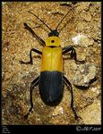 Title: Cantharidae sp