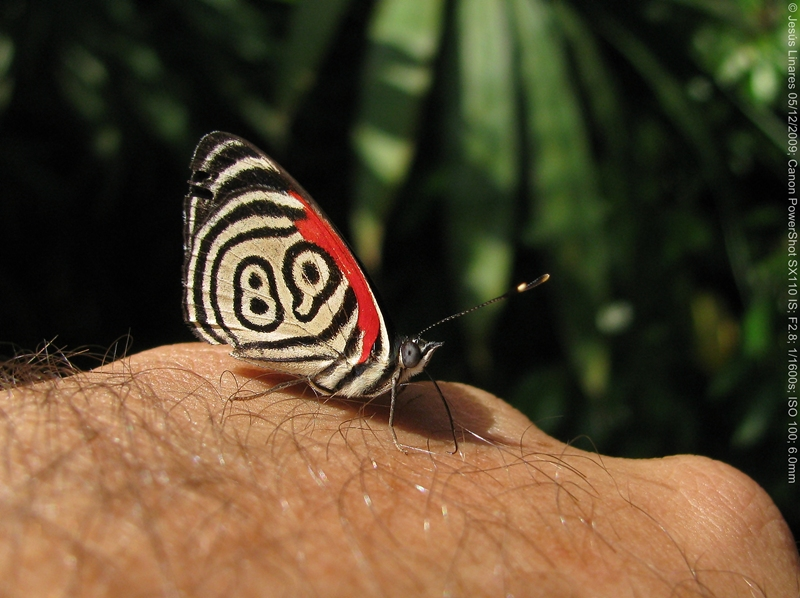 Diaethria neglecta (89 Butterfly)