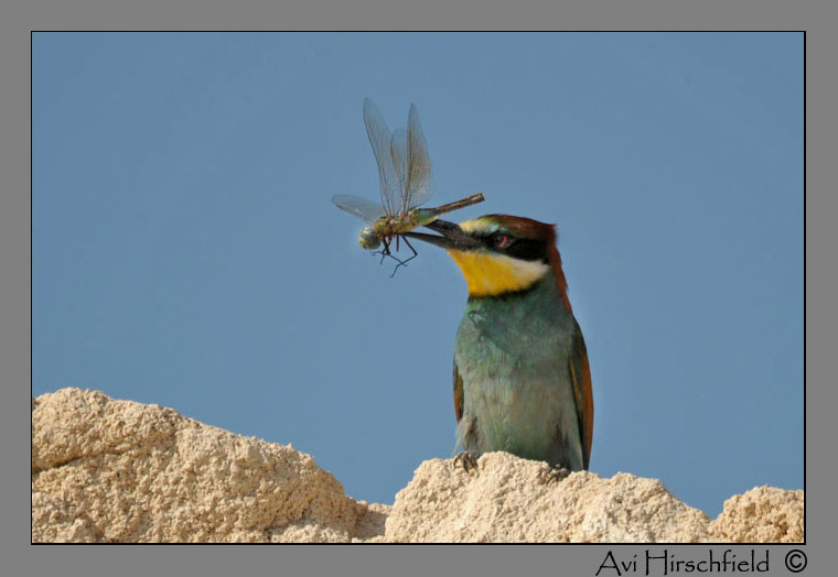 Bee-eater(Merops apiaster) + dragonfly