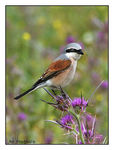 Title: Red-backed Shrike(Lanius collurio)