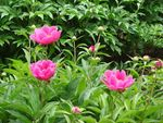 Title: small peonies