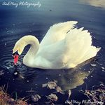 Title: Beautiful Swan