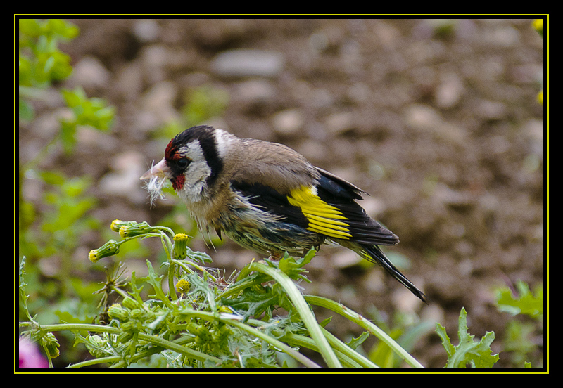 Goldfinch on Groundsel
