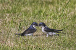 Title: House martins