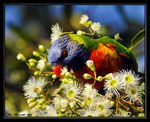 Title: Rainbow Lorikeet  raiding  Fig Tree