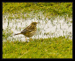Title: Meadow Pipit