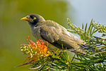 Title: Mynah in Grevillia Bush