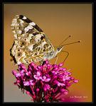 Title: Painted Lady on Valerium