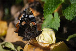 Title: Red Admiral Profile