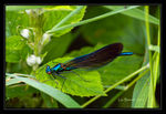 Title: Red Eyed Damselfly ?