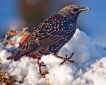 Title: Starling
