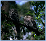 Title: Tawny Frogmouths