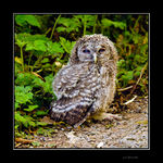 Title: Tawny Owl Chick
