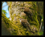 Title: Treecreepers with Prey