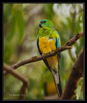 Title: Turquoise Parrot