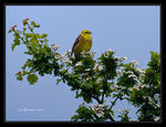 Title: Yellowhammer in Hawthorn Blossom