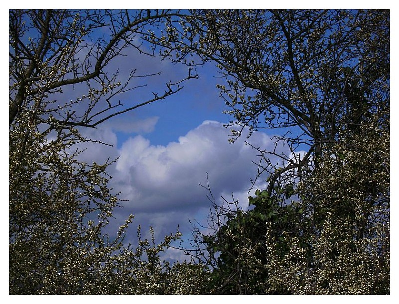 Clouded sky throug blossomed trees
