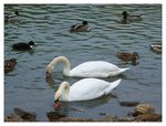 Title: Two swans...