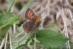 Title: Lycaena helle