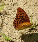 Title: First Argynnis paphia male
