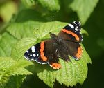 Title: Red AdmiralSony Alpha DSLR 350