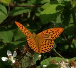 Title: Argynnis Paphia male1Sony Alpha DSLR 350