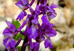 Title: Orchis mascula
