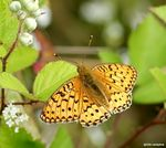 Title: Argynnis Adippe FemaleSony Alpha DSLR 350