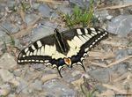 Title: Papilio machaon1Sony Alpha DSLR 350