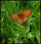 Title: Argynnis Aglaja view faceSony Alpha DSLR 350
