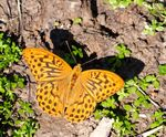 Title: Argynnis Paphia male and shadowsSony Alpha DSLR 350