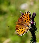 Title: Argynnis aglaja view of the wings