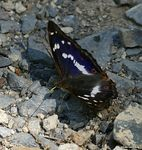Title: Purple EmperorSony Alpha DSLR 350