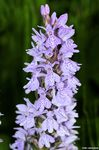 Title: spotted orchid