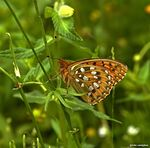 Title: first Argynnis Aglaje this yearSony Alpha DSLR 350