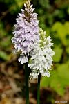 Title: orchis mascula 1Sony Alpha DSLR 350