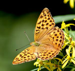 Title: *Silver Washed Fritillary1*
