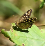 Title: * Speckled Wood *
