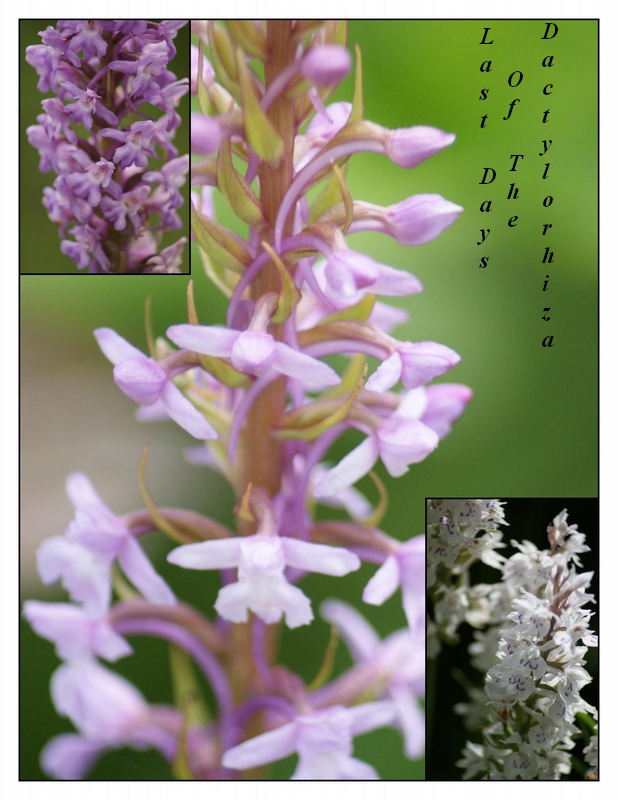 Last days of the Dactylorhiza