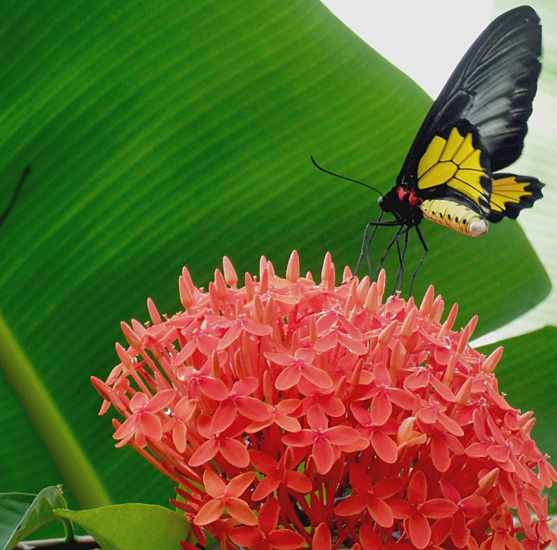 Butterfly on Thetchi flowers