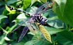 Title: Golden-ringed Dragonfly