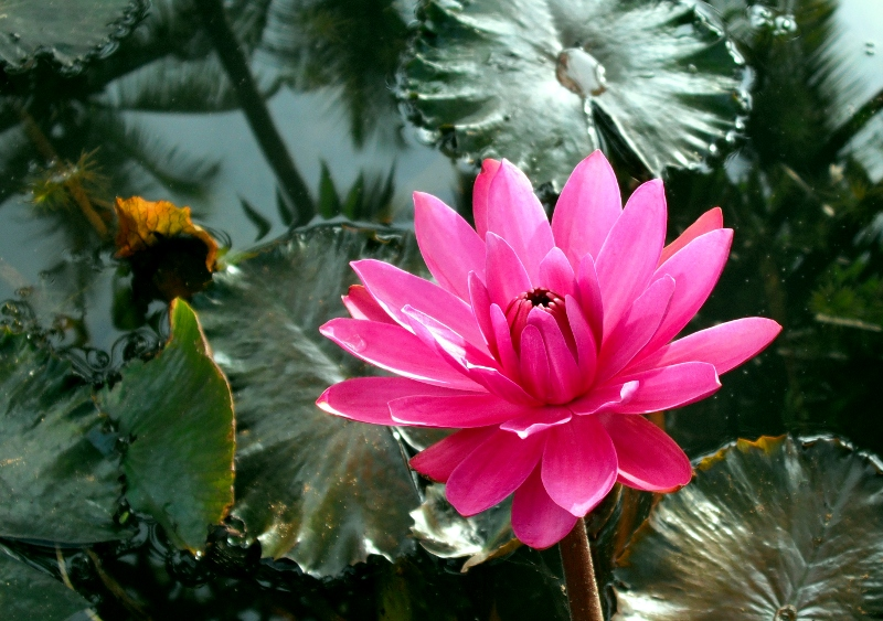 Nymphaea rubra(India Red water lily)