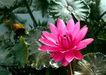 Title: Nymphaea rubra(India Red water lily)