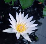 Title: White water lily