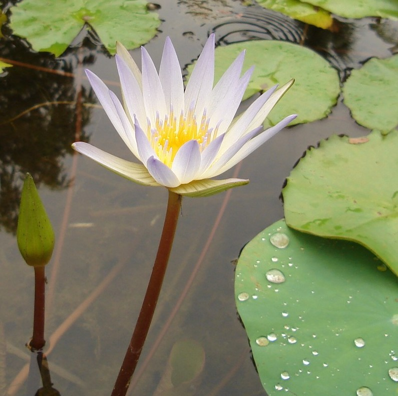 Water lily White with bud