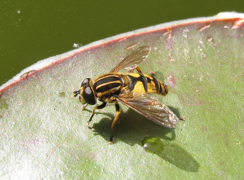 Hoverfly on lily pad
