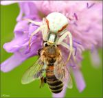 Title: Crab spider VS bee