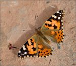 Title: Painted lady on the sand...