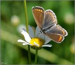 Title: Plebejus argus-female for...ARGUS