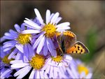 Title: Lycaena phlaeas-female